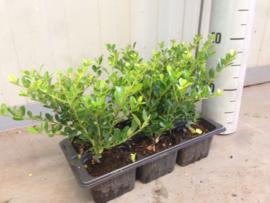 Ilex crenata Green Hedge - Buxus vervanger