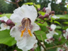Catalpa bignonioides 'Aurea' (Gele Bolcatalpa)