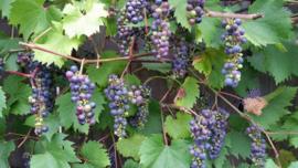 Druif in pot Vitis Glorie van Boskoop blauwe druif