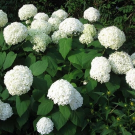 Hydrangea arbo. 'Strong Annabelle'