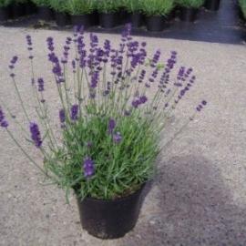 Lavendel (lavandula) ang. Hidcote C1.5