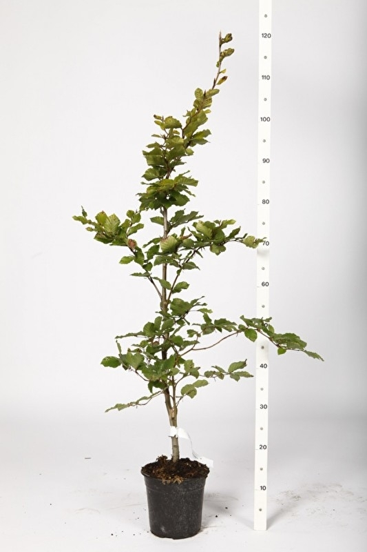 Beukenhaag in pot, bladbehoudend groen (Fagus sylvatica)