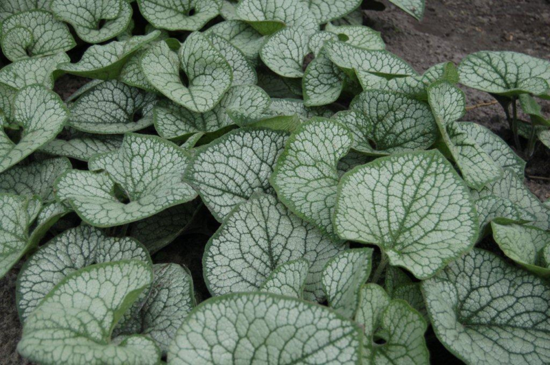 Brunnera macr. 'Sea Heart'