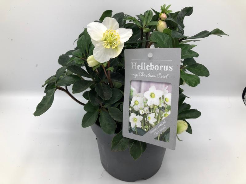 Helleborus niger 'Christmas Carol' - Witte Kerstroos