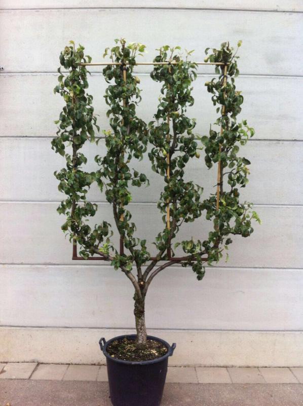 Oude leipeer / leifruitboom u-vorm handpeer