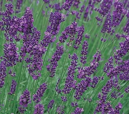 Lavendel (lavandula) stoechas