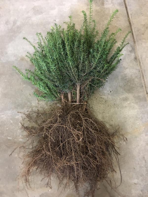 Taxus baccata - Venijnboom haagplanten losse wortel