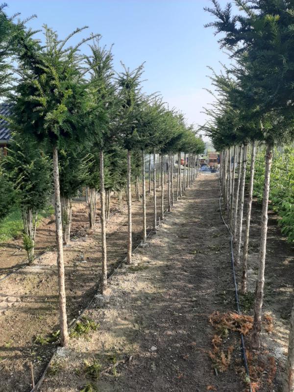Taxus baccata - Venijnboom hoogstam