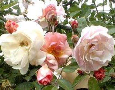 Rosa New Dawn - Klimroos