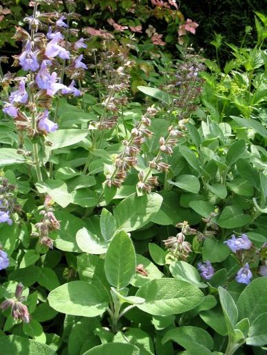 Salvia off. 'Berggarten'