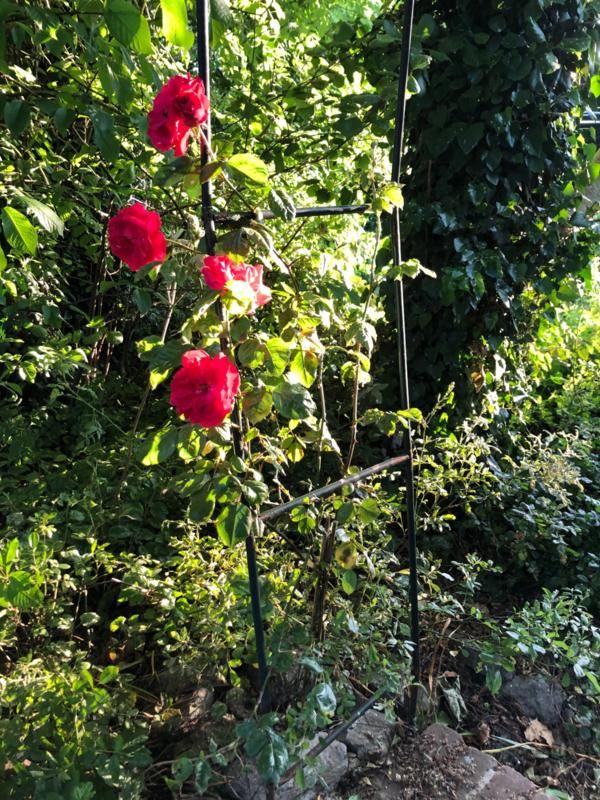 Klimroos klimrozen rood, roze, wit geel