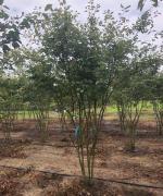 Amelanchier lamarckii - Krentenboompje meerstammig