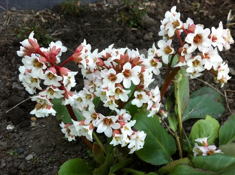Bergenia 'Bressingham White' - Schoenlappersplant