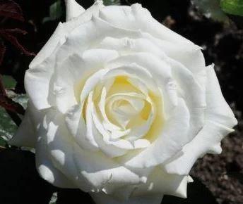 Rosa Memoire witte theeroos