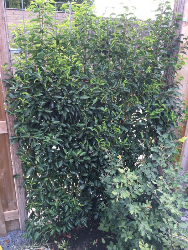 Prunus lus. 'Angustifolia'  kant en klaar haag Portugese laurier 180 cm.