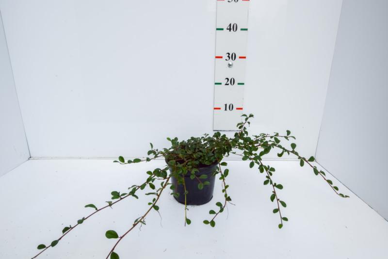 Cotoneaster dammeri (Dwergmispel)