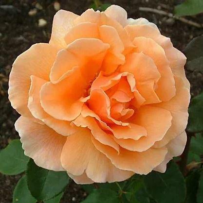 Rosa Just Joey zacht oranje theeroos