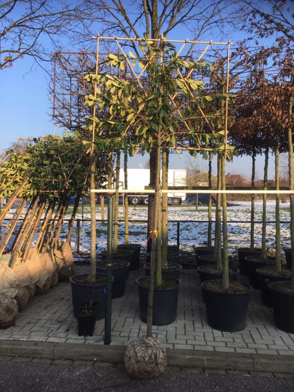 Prunus laur. 'Novita' Leivorm leiboom groenblijvend