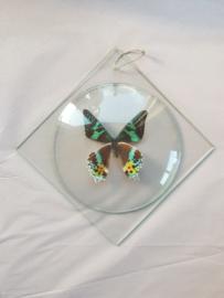Vlinder in glazen lijstje