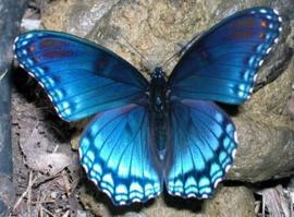 Vlinder als krachtdier