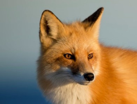 Renard comme force animale