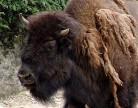 Bison comme force animale