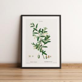 Vintage tekening van een olijftak