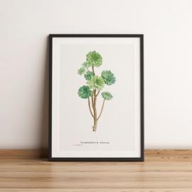 Vintage tekening van een vetplantje