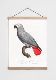 Poster met Grijze Roodstaart Papegaai