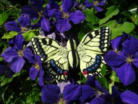 Garenpakket | Miekscreaties Koninginnepage  Vlinder