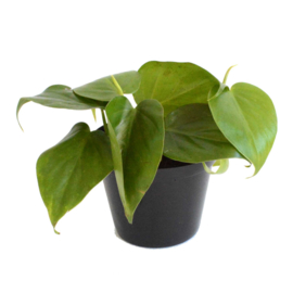 Philodendron Scandens S
