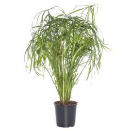 Cyperus Alternifoilius