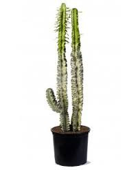 Euphorbia Variegata