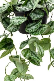 Scindapsus Pictus Trebie Hangplant