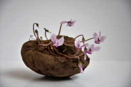 Flower Bulbs Cyclaam