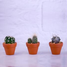 Cactus Mini