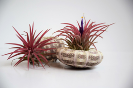 Airplant Roze