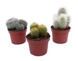 Cactus M