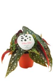 Begonia Stippenplant S