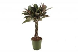 Ficus el Melany