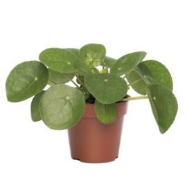 Pilea Peperomoides Pannenkoekplant