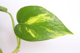 Epipremnum Aureum Hangplant