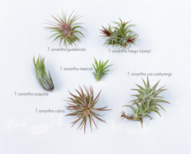 Airplant L Gemengd