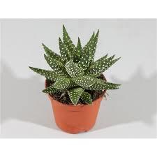 Haworthia Margaritifera