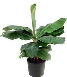 Bananenplant Musa Dwarf S