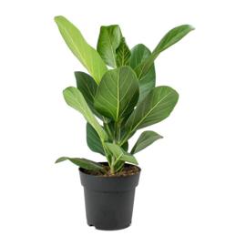 Ficus Benghal Audre
