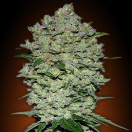 Diesel vrouwelijke autoflowering zaden