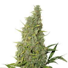 PowerPlant Autoflower frön för kvinnor
