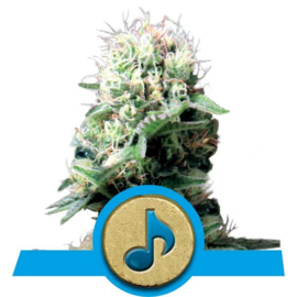 Semillas de cannabis medicinal Dance World.