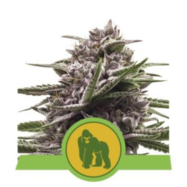 Royal Gorilla Automatic Semi di cannabis